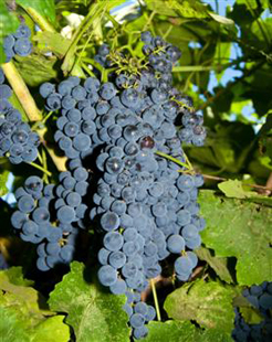 blueberry grapes seedless bunch