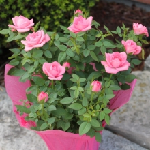 Mini Roses Willyfresh Plants