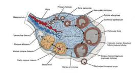 Anatomy-Female-Ovary-Picture-used-courtesy-of-SSFT-Tony-Gray