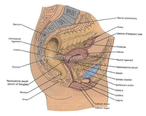 Anatomy-Female-Side-View-Picture-used-courtesy-of-SSGT-Tony-Gray