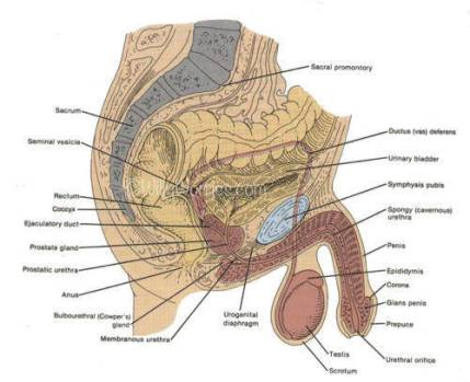 Male reproductive anatomy by cross section