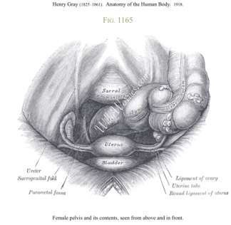 Drawing-of-female-pelvis-and-contents-seen-from-above-and-in-front