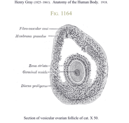 Section Of Vesicular Ovarian Follicle, - Greys Anatomy-1918