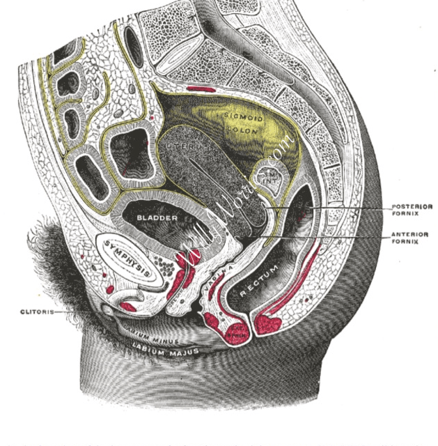 Female reproductive system, bowels, bladder
