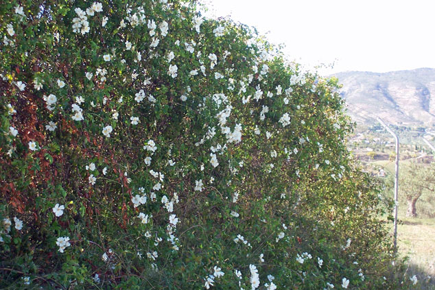 Wild rose: pretty in spring, but impenetrable all year round