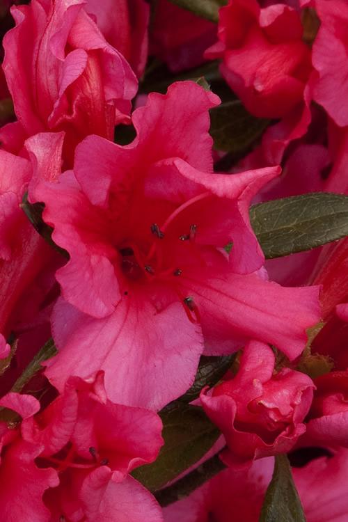 Buy Girards Rose Azalea For Sale Online From Wilson Bros