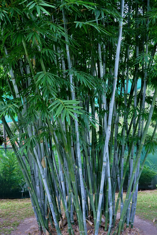 baby blue bamboo plants - free