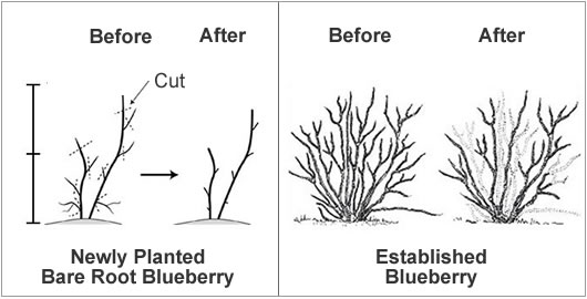 how to make a cell diagram animal mitosis prune blueberry bush from the experts at wilson bros gardens