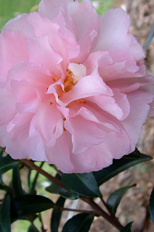 buy cotton candy camellia
