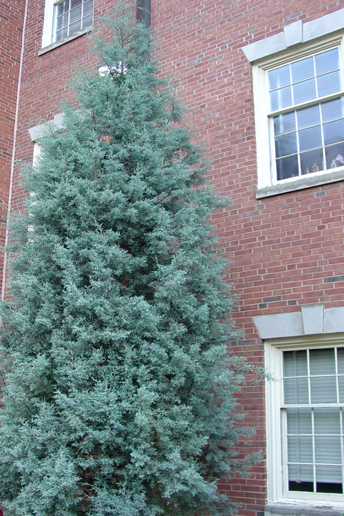 Buy Blue Ice Arizona Cypress For Sale Online From Wilson Bros Gardens