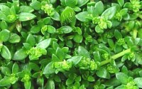 Buy Green Carpet Dwarf Rupturewort Herniaria glabra For ...