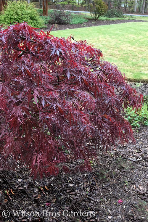 Buy Red Dragon Dwarf Japanese Maple For Sale Online From