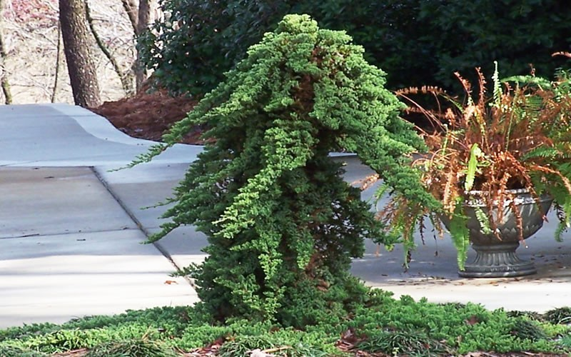 Buy Green Mound Japanese Garden Juniper For Sale Online