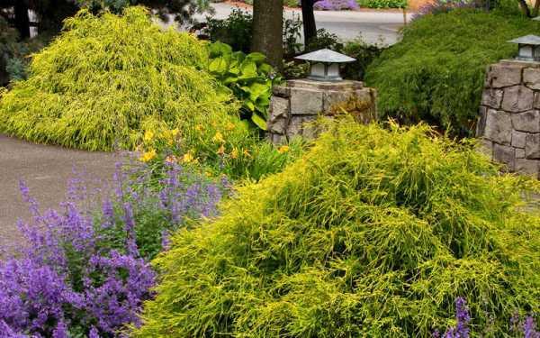 gold mop threadleaf cypress