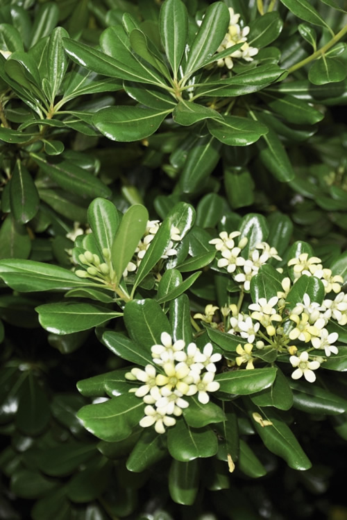 Buy Green Pittosporum Tobira For Sale Online From Wilson Bros Gardens
