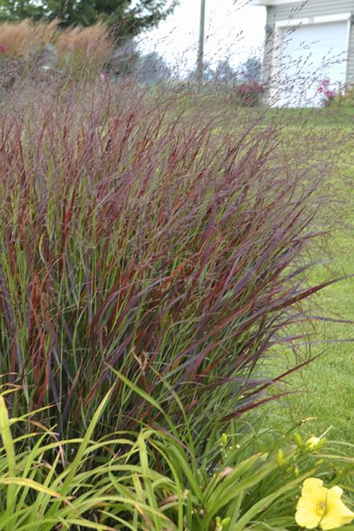 buy ornamental grass