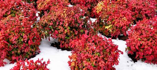winter flowering & blomming shrubs
