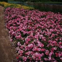 Pink Carpet Rose - Carpet Vidalondon