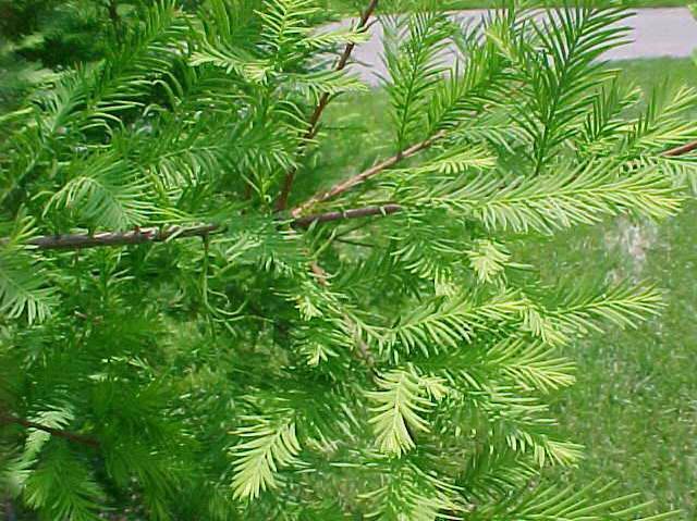 Fall Feather Wood Wallpaper Common Baldcypress Wilson Nurseries
