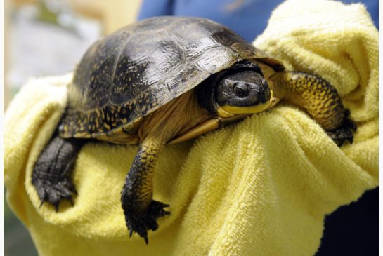 Blandings turtle: clearly at risk