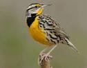 The Eastern Meadowlark among several species of bird that will be harmed by the White Pines project, experts testify