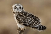 The Short-eared owl: one of many species affected by Niaga wind power project. But we'll never know how many, due to incomplete or absent studies
