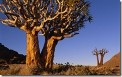 Quiver Trees, Richtersveld National Park