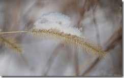 Snowy wheat