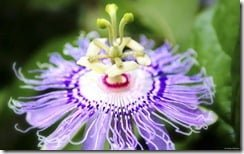 Purple Passion Flower (Passiflora incarnata)