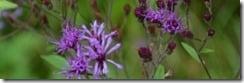 msbandpurpleflowers