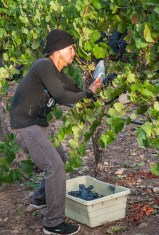 Napa Valley Harvest 2015 - Mumm Napa was the first to pick Pinot Noir grapes at the Game Farm Vineyard (Edgar Solis)