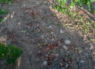 Rocky soil at Game Vineyard (Edgar Solis)