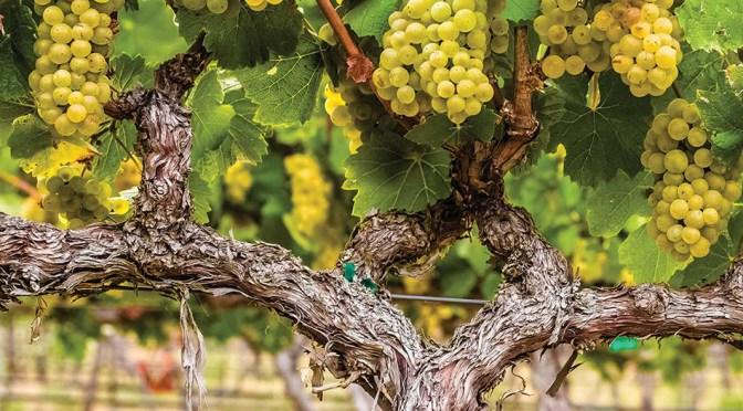 Enjoying Wente Vineyards wines