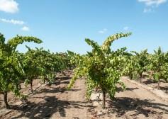 Acquiesce Vineyard