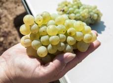 Grenache Blanc at Acquiesce Vineyard