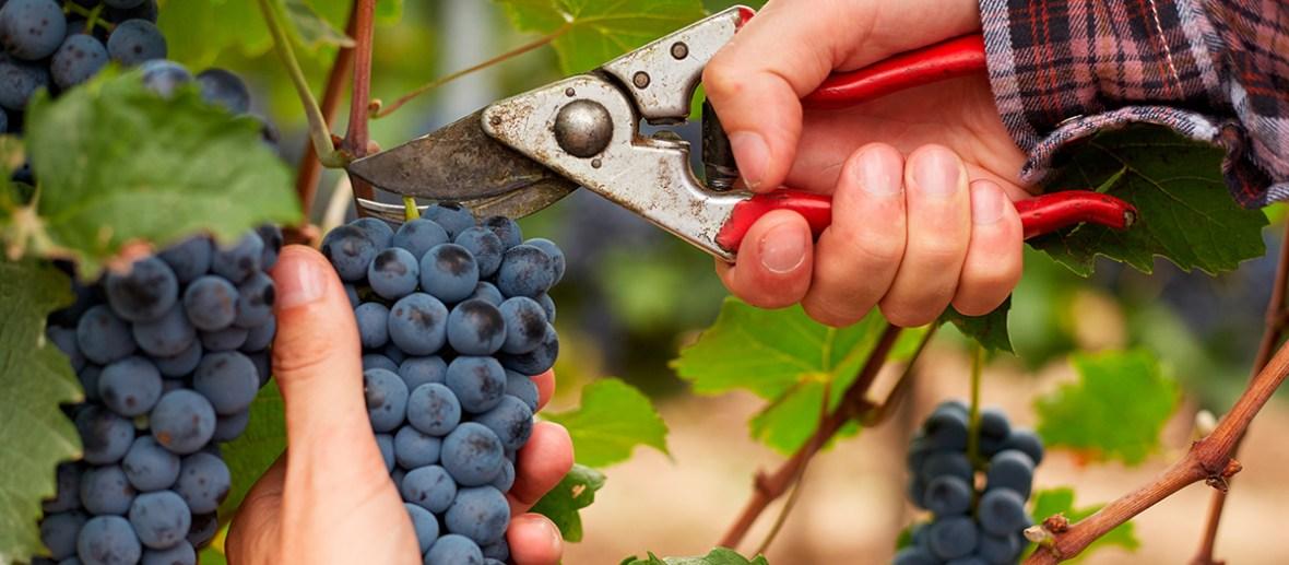 É tempo de colheita | Winepedia