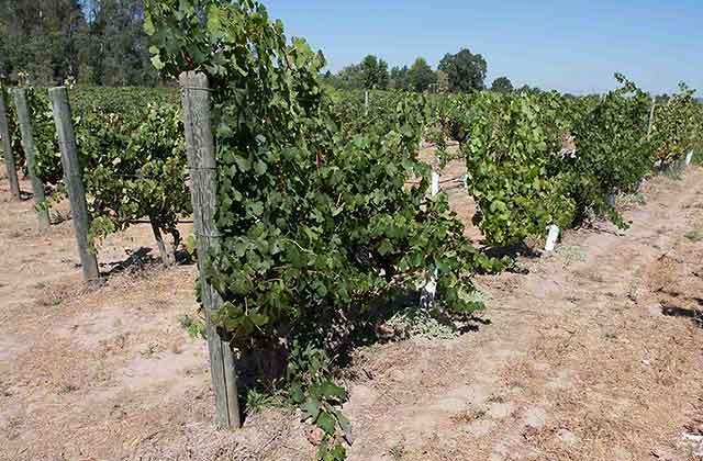 alegria vineyards