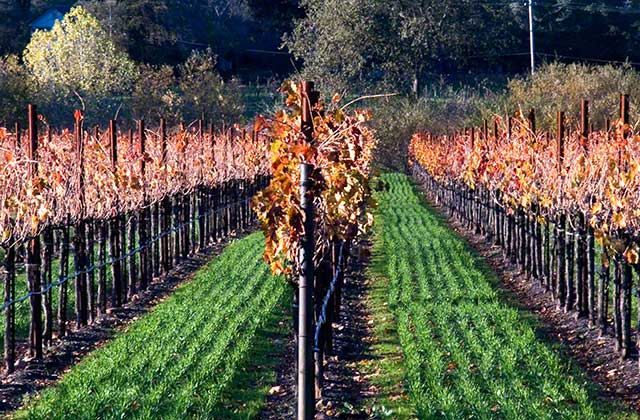 The vines in Sonoma Valley the day after Thanksgiving