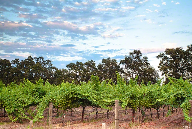 grape-vines-july
