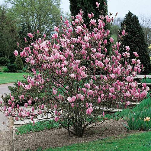 Magnolia da Fiore  Wineflowers Blog