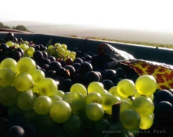champagne-yveline-prat-grapes-soruced