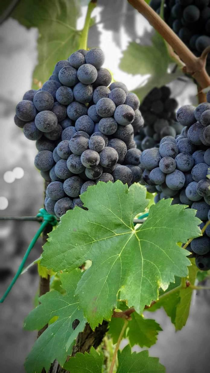Nerello Mascalese vino siciliano dell'Etna