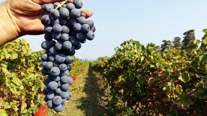nocera vitigno autoctono siciliano messina sicilia