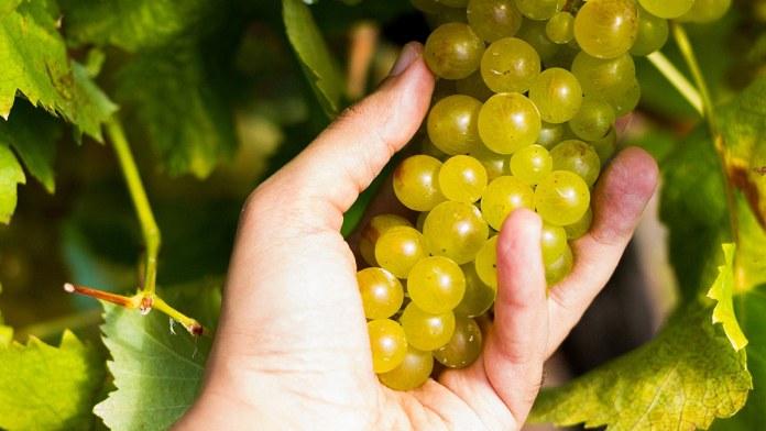 Carricante Grappolo vitigno autoctono Etna Bianco DOC