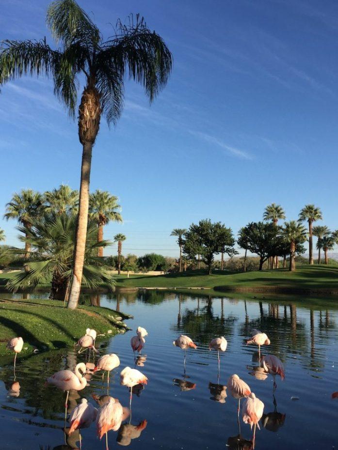 Flamingos at Marriott Palm Springs
