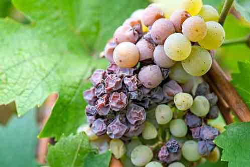 Discover the Sauternes Wine Region of Bordeaux • Winetraveler