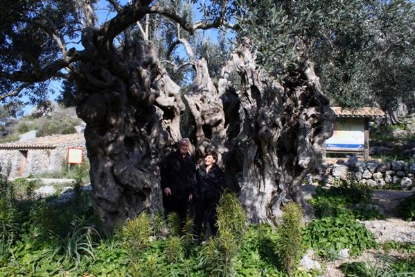 3 olivo