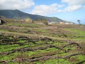 viñedos acogidos a la D.O. Valle de la Orotava