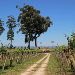 viñedo en valle del salnés - Rías Baixas