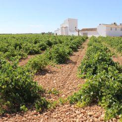 Viñedos en la comarca de La Mancha